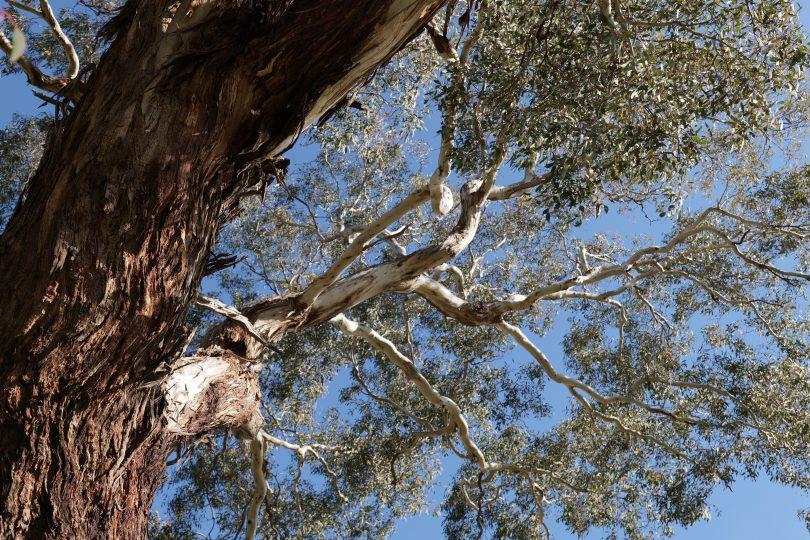 Underside of native tree.
