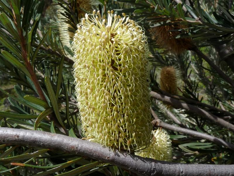 Silver Banksia flower
