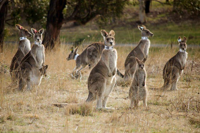 Collared kangaroos