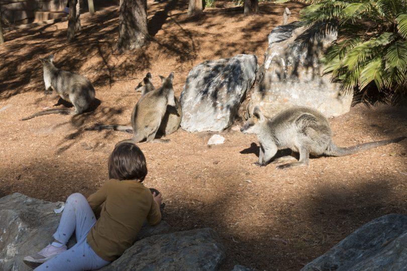 Child looking at kangaroos at National Zoo & Aquarium.