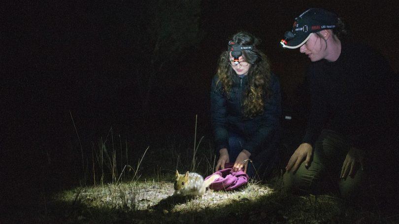 ANU researchers conducting quoll monitoring at night at Mulligans Flat Nature Reserve.