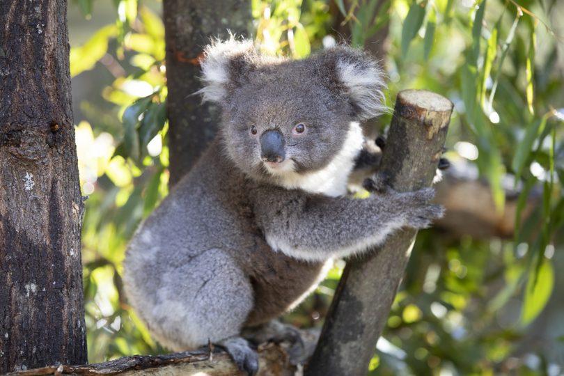 Gulu the koala