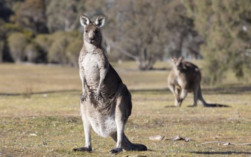 More than 1500 kangaroos killed in latest cull
