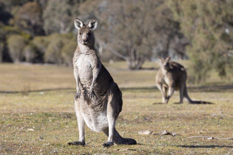 An eastern grey kangaroo