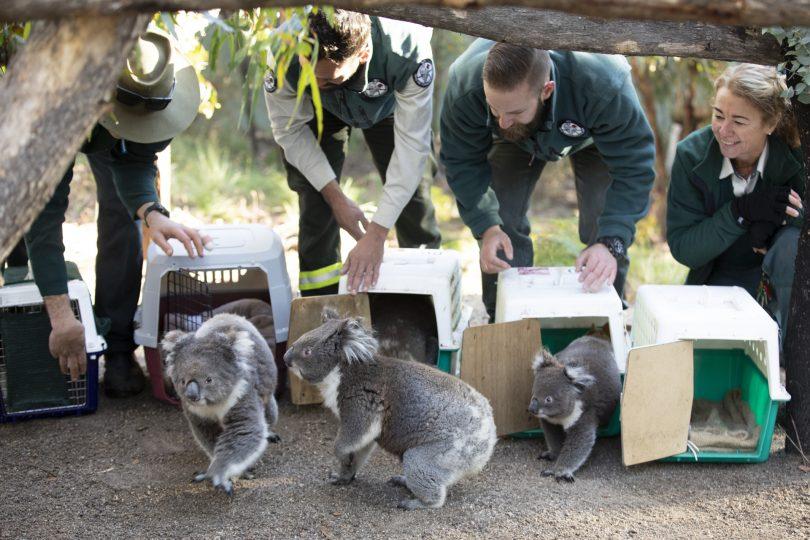 Koalas being released back into Tidbinbilla.