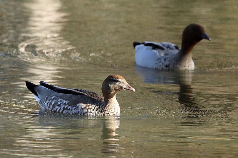 Wild ducks in pond.
