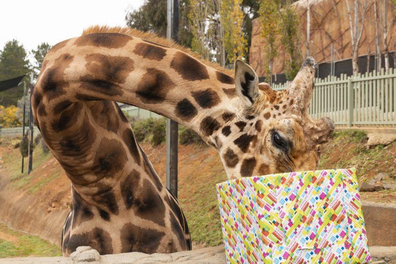 Hummer the giraffe
