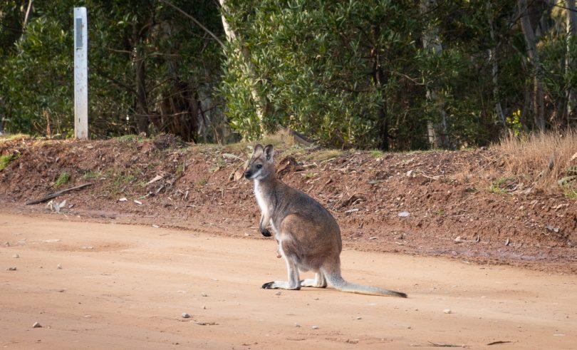 A wallaby at Namadgi