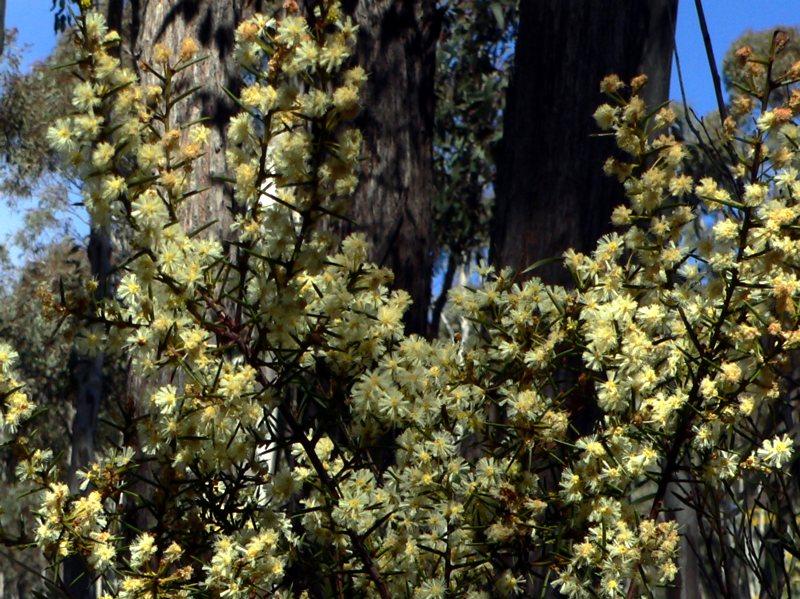 Early wattle tree in Canberra bushland.