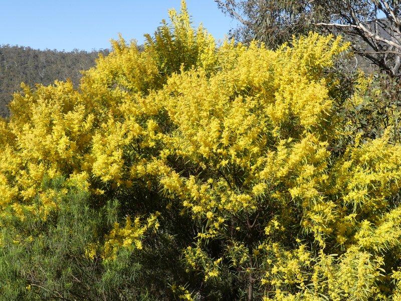 Redstem wattle flowering in Canberra.