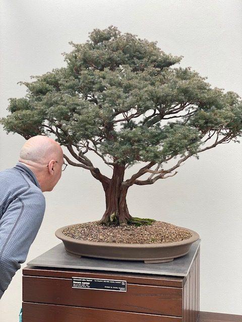 Man looking at bonsai cypress tree at National Arboretum.