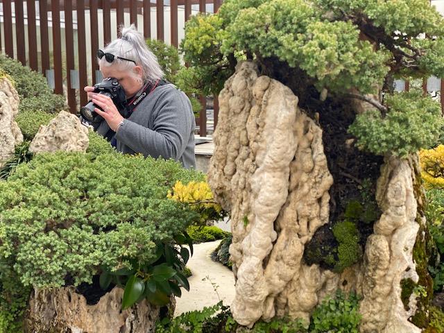 Woman taking photo of bonsai tree at National Arboretum.