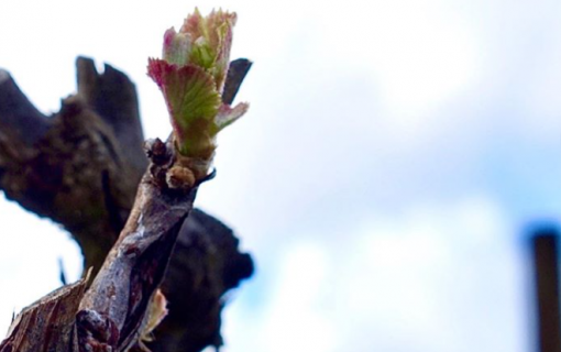 Canberra winemakers escape frost damage but aren't clear of danger yet