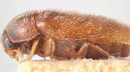 An adult khapra beetle
