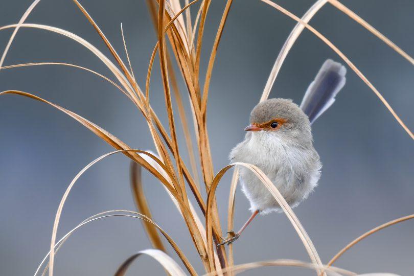 Fairy wren bird sitting on foliage.