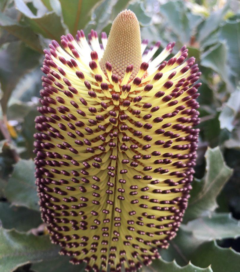 Banksia plant.