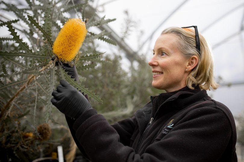 Australian National Botanic Gardens worker holding banksia.