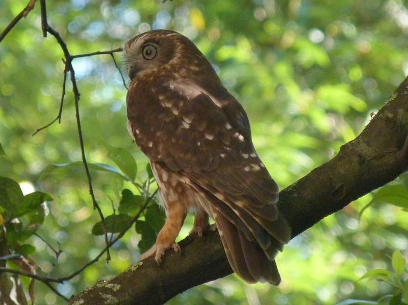 Boobook owl in tree.