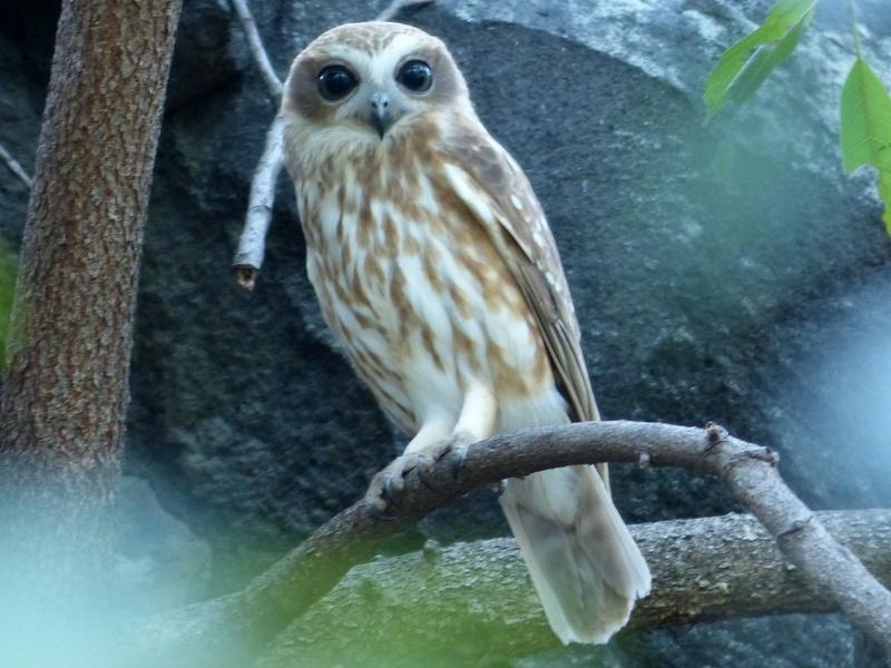 Boobook owl sitting on branch.