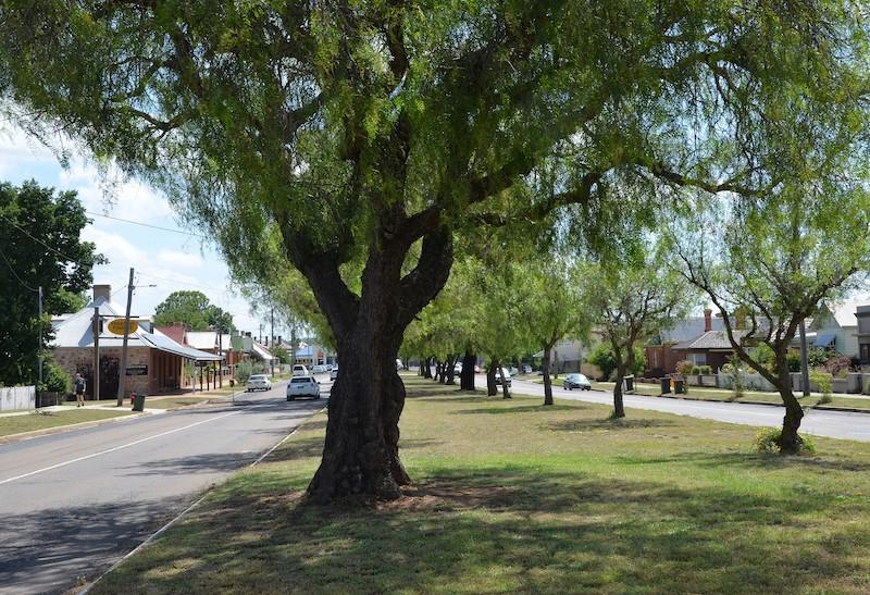 Peppercorn trees lining Grafton Street in Goulburn.