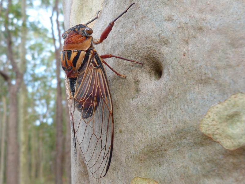 Double drummer cicada on tree.