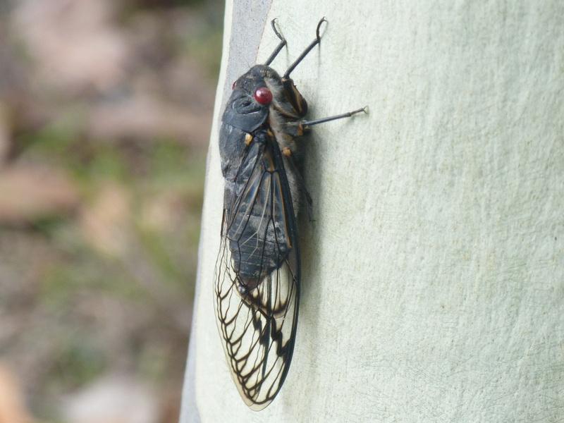 Redeye cicada on eucalyptus tree.