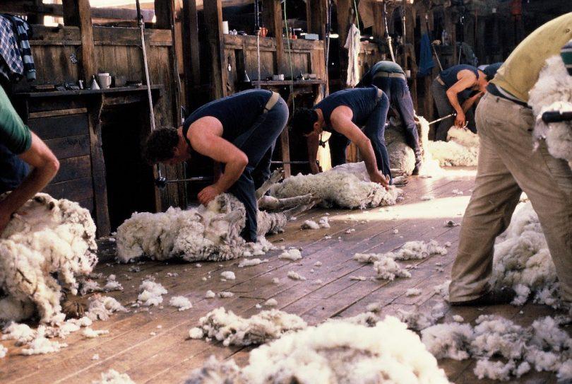 Shearers working with sheep in shearing shed.