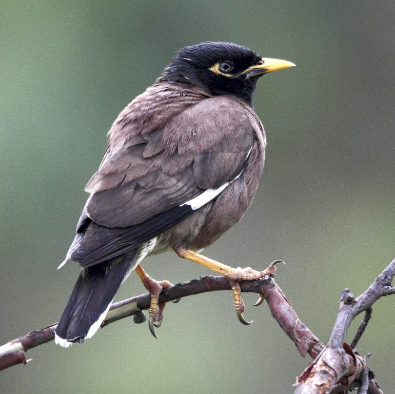 An Indian myna bird.