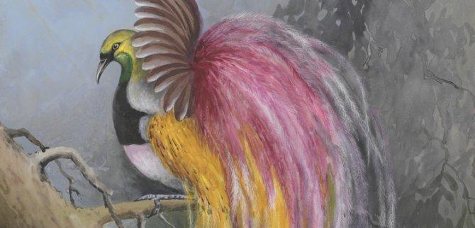 Ellis Rowan's birds of paradise
