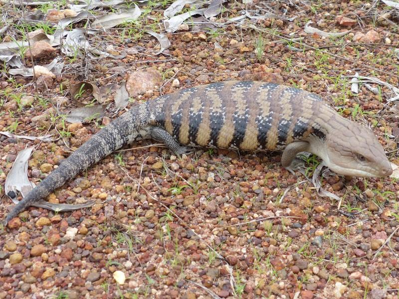 Eastern blue-tongue lizard.