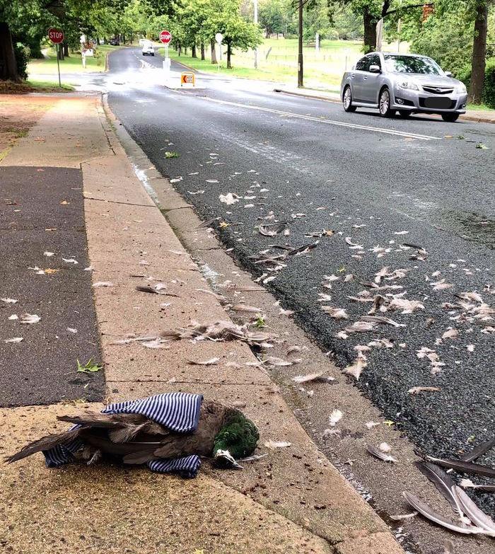 A dead peafowl on La Perouse Street