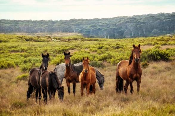 Wild horses in open plain
