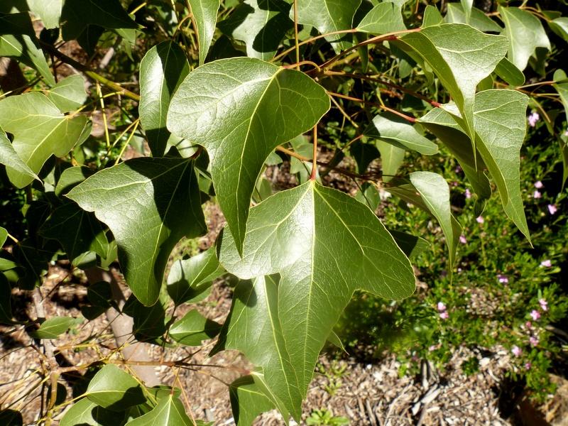 Kurrajong leaves