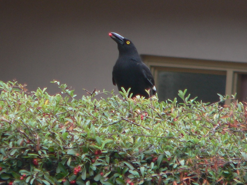 Pied currawong eating a berry