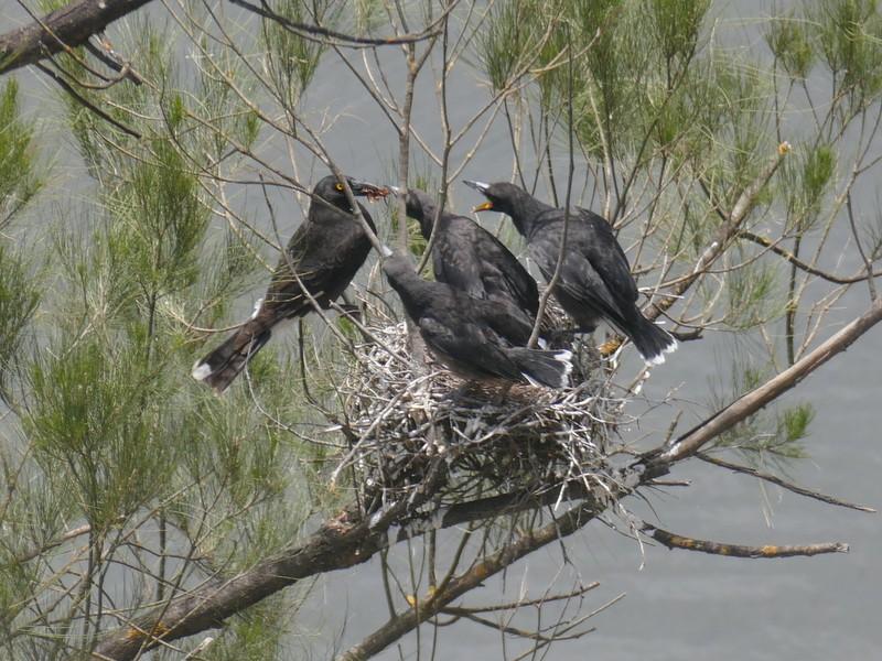 Pied currawong feeding chicks