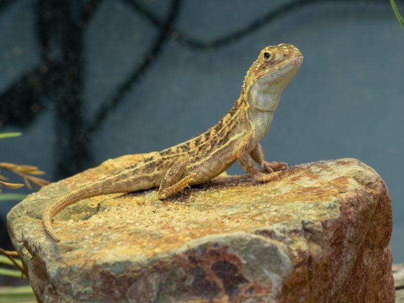 A grassland earless dragon in the breeding facility at Tidbinbilla Nature Reserve