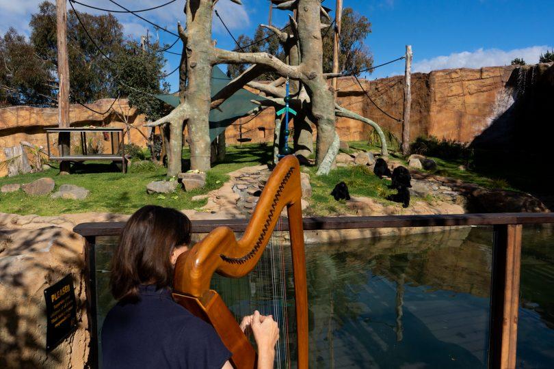 Alison plays harp in front of monkeys