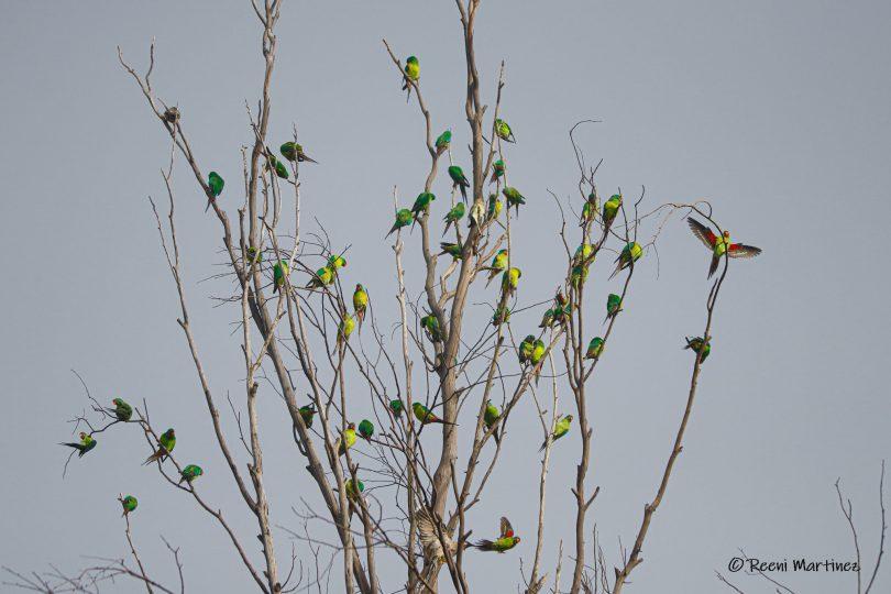 A pandemonium of Swift Parrots