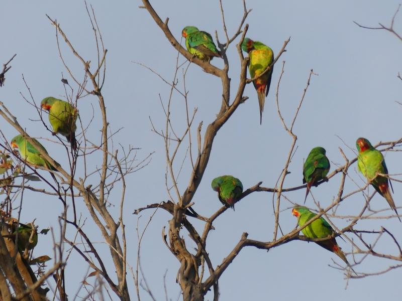 Flock of green swift parrots sitting in tree