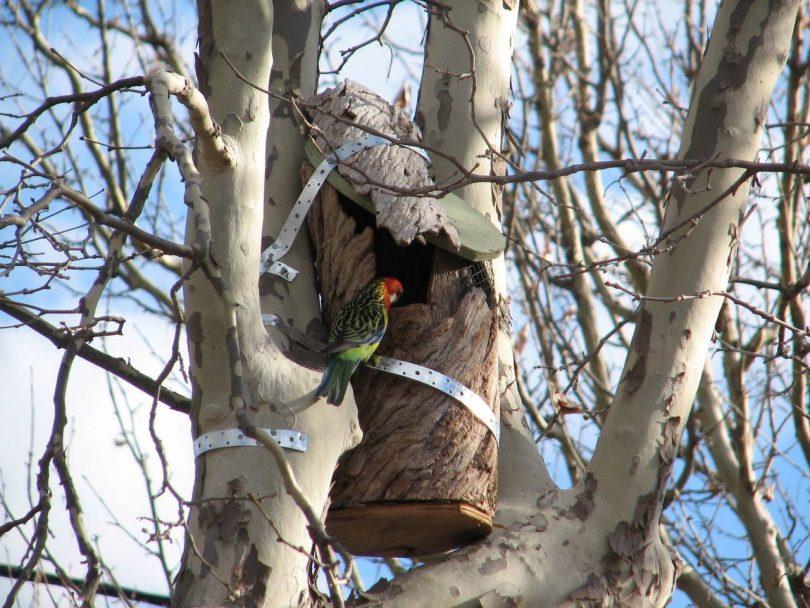 Rosella birds in tree