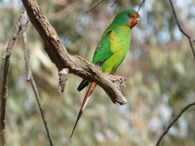Green swift parrot sitting on branch