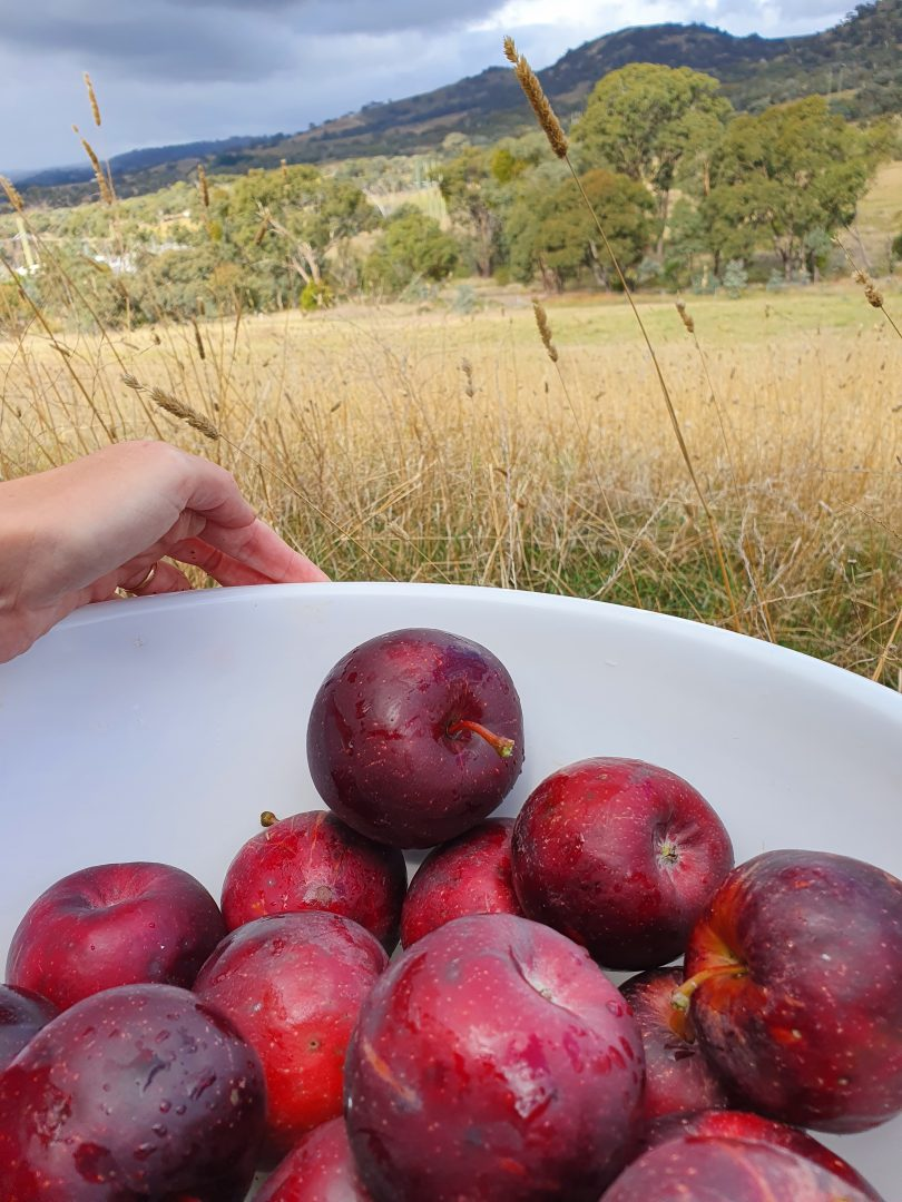 Freshly foraged plums