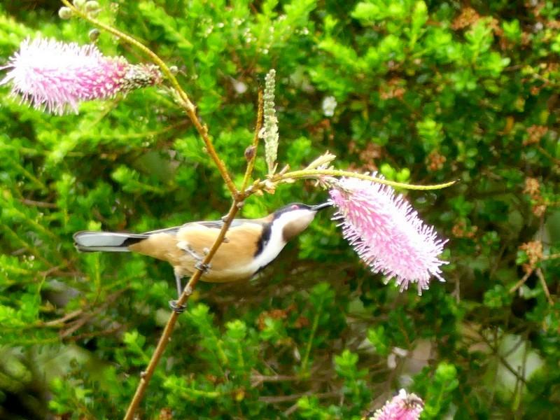 Bird and grevillea flower