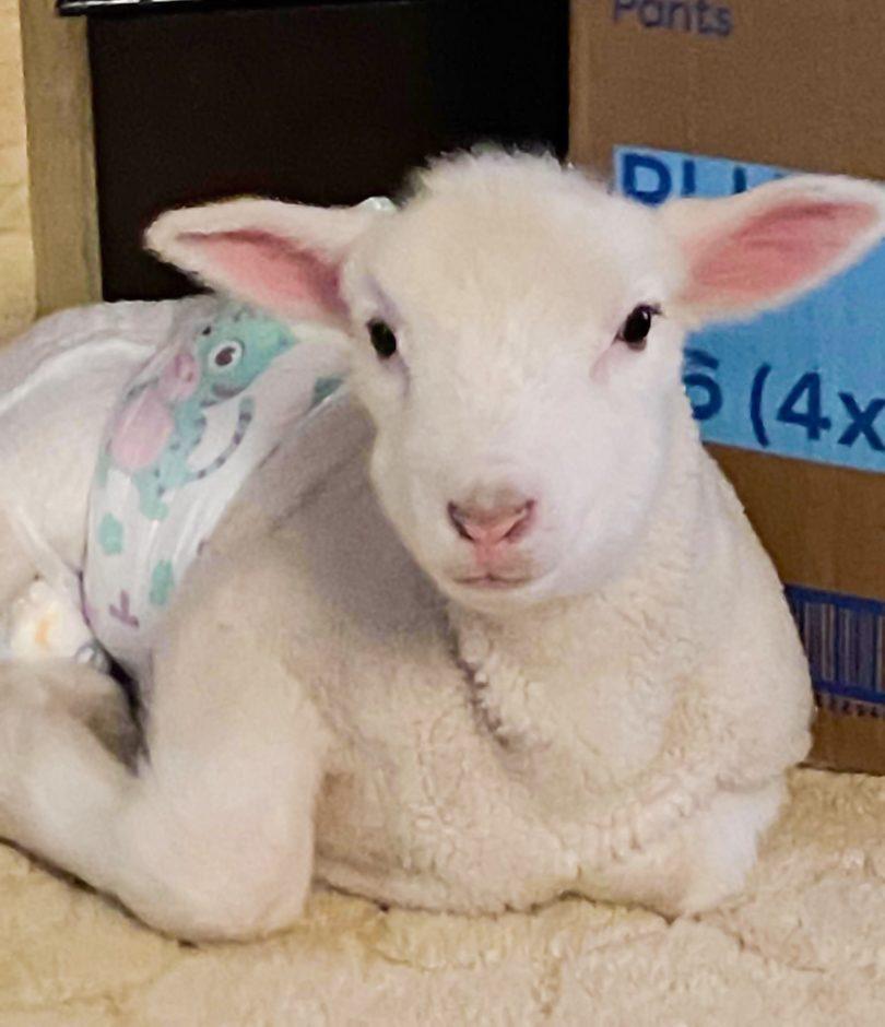 Baby lamb wearing a nappy