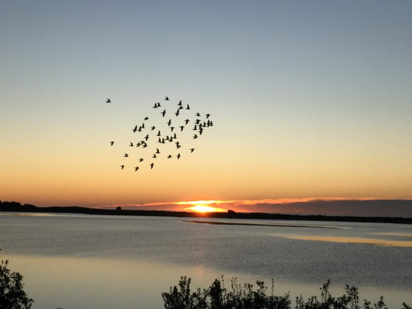 Flock of racing pigeons flying at sunset