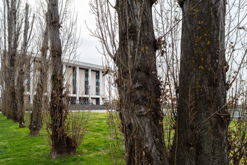 Poplar trees at National Library of Australia.