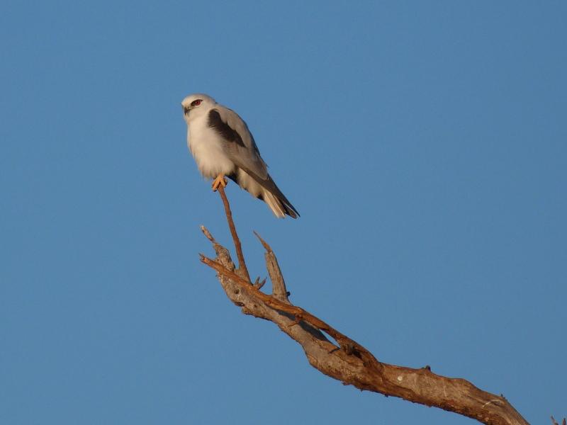 Kite bird sitting on branch