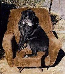 Black dog sitting on chair