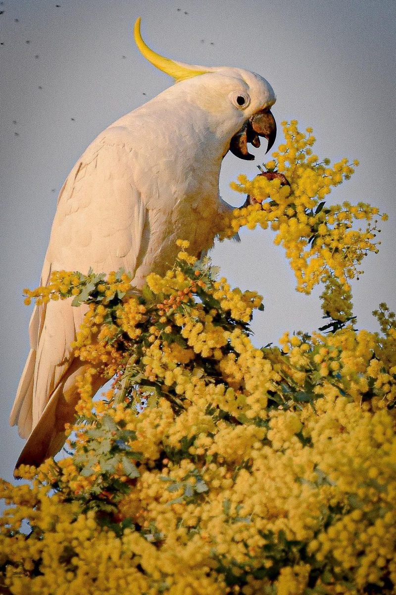 White cockatoo eating wattle