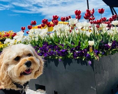 Dog next to Floriade flowers display